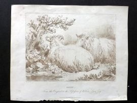 Mackenzie after George Morland 1805 Etching. Sheep